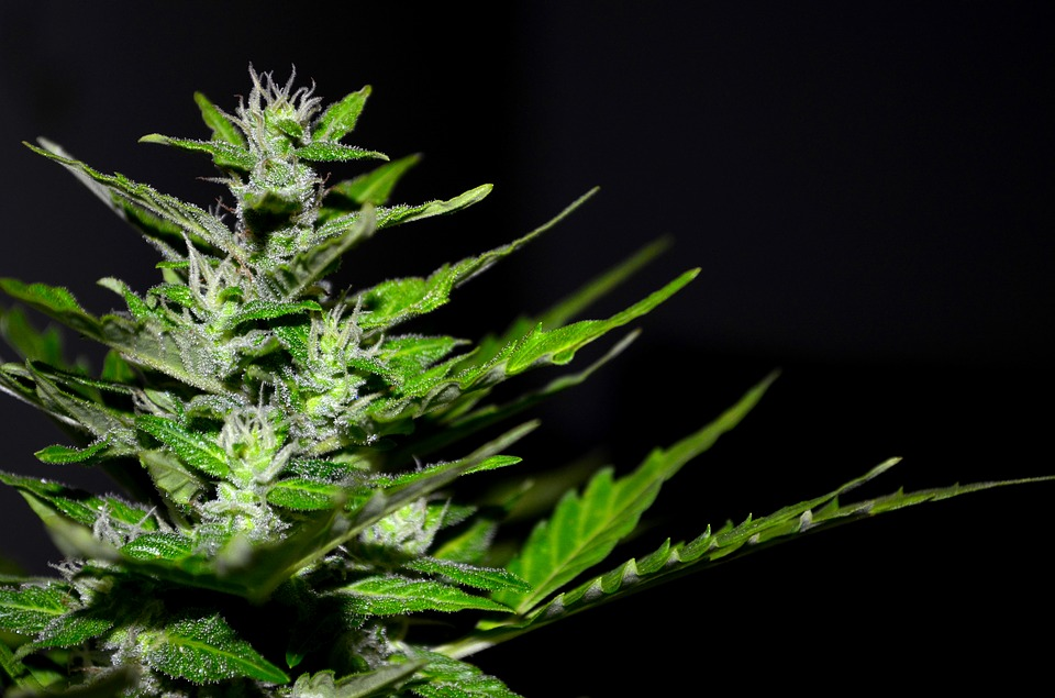 cannabis-plant-close-up