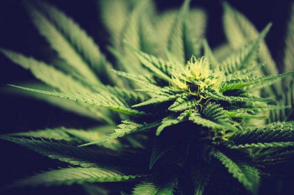 macro-lens-cannabis-plant
