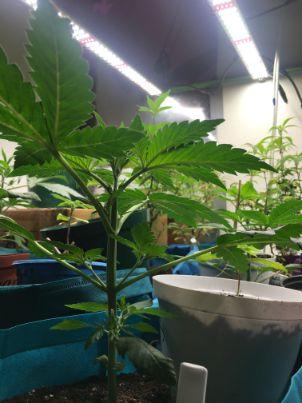 Cannabis-indoor