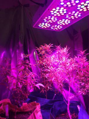 Autoflower_cannabis