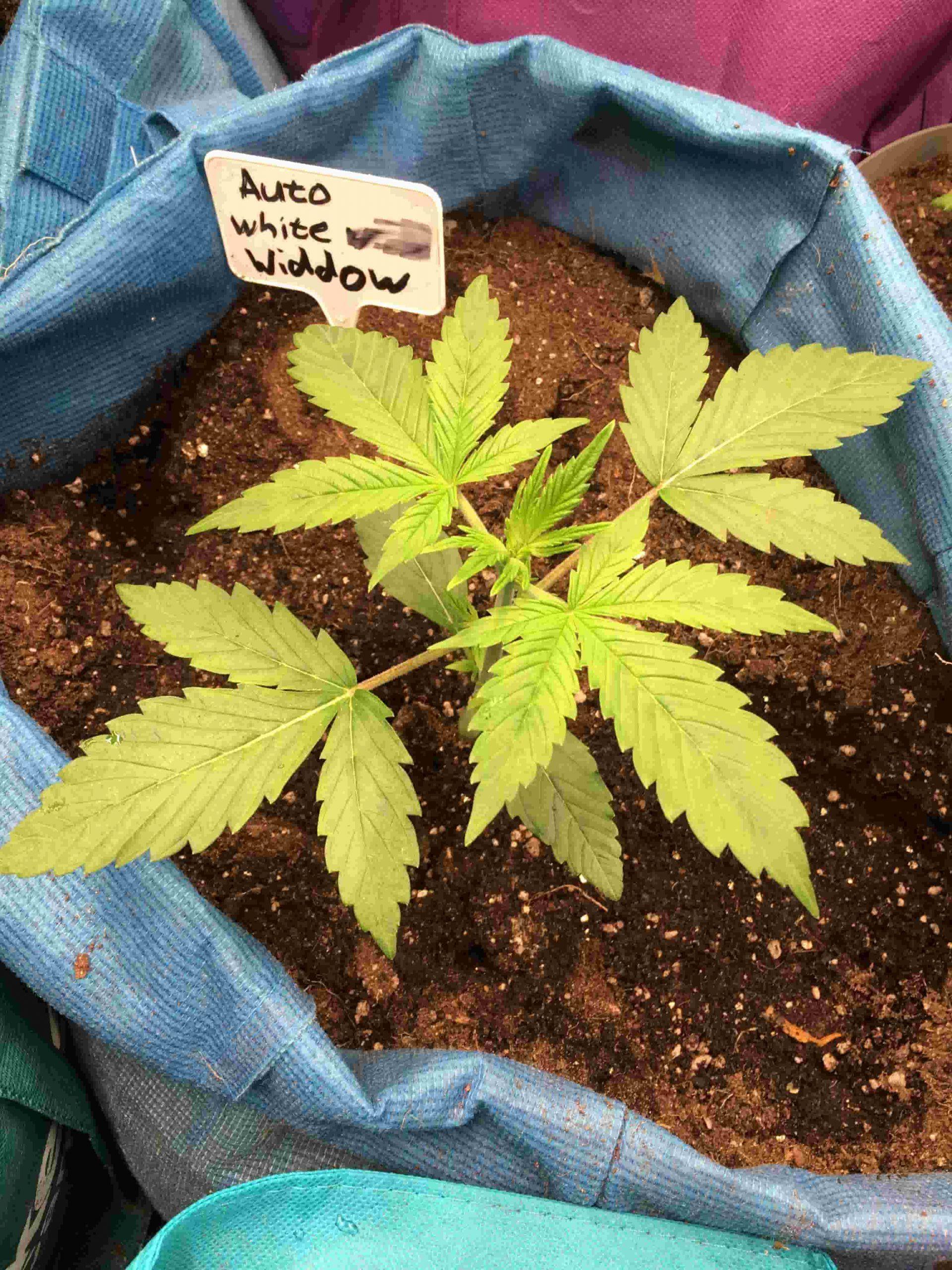White_Widow_Autoflower_cannabis