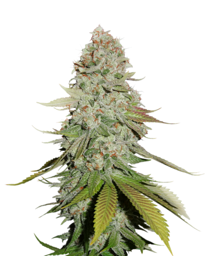 Gorilla Glue #4 cannabis strain