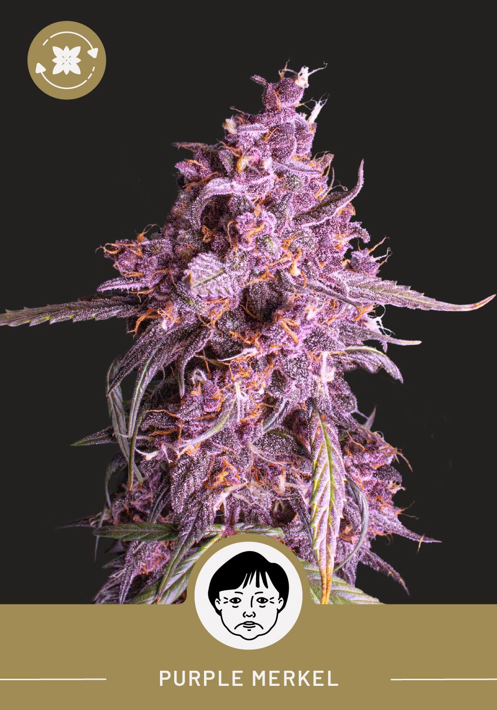 Purple Merkel - Autoflower