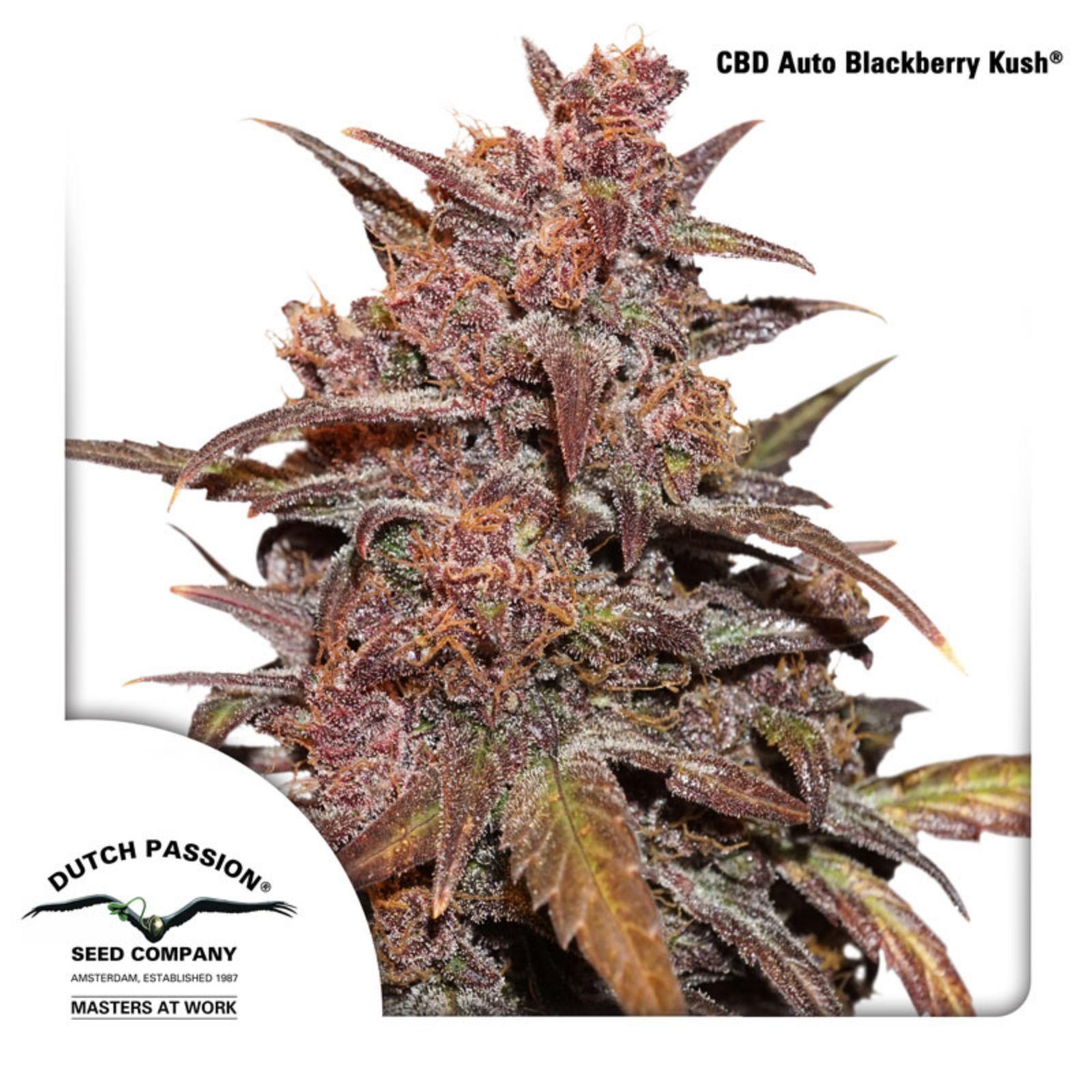 Dutch Passion - CBD Auto Blackberry Kush