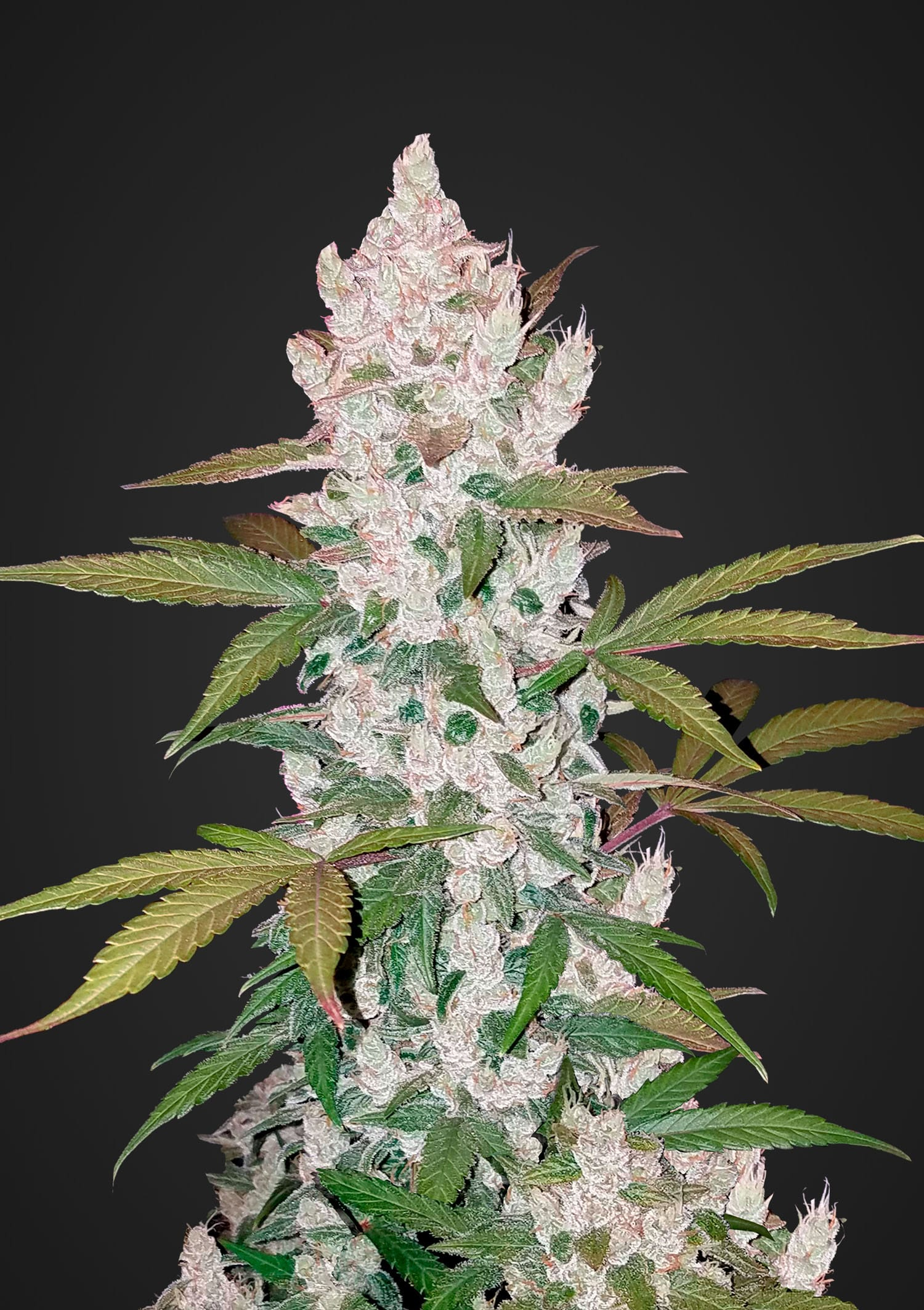 FastBuds Seeds – Girl Scout Cookies Auto (Single)